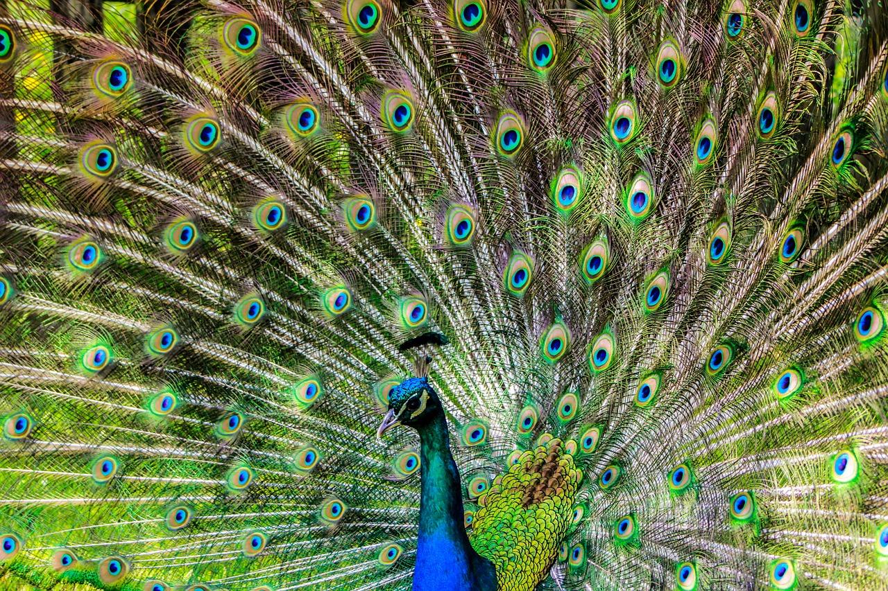 Abra sua cauda de pavão para criar situações de sucesso