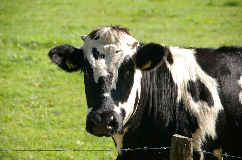 vaca - cA vaca é sagrada na Índia a ponto de sua urina ser ingrediente de uma bebidaulturas mais bizarras do mundo