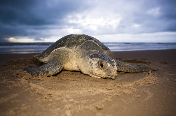 projeto tamar preservação tartarugas