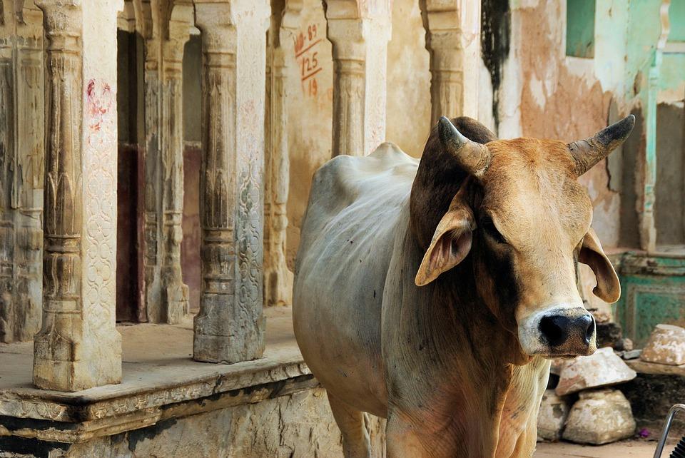 vaca sagrada