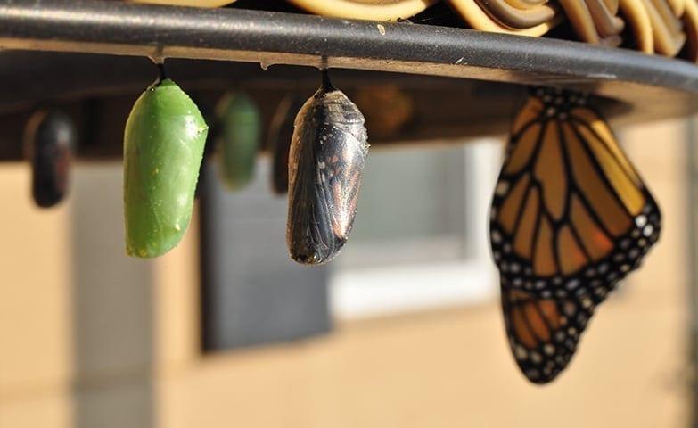 casulos de borboletas